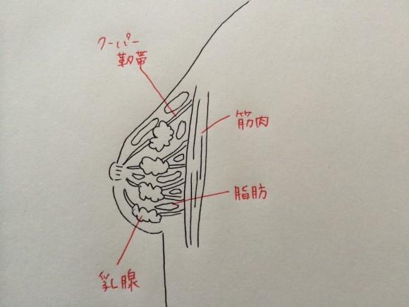 胸の断面図の画像